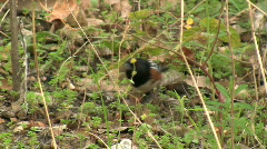 Stock Video Footage of Spotted Towhee In Chaparral