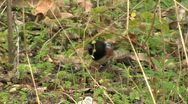 Spotted Towhee In Chaparral Stock Footage