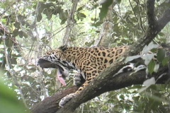 Panther on Moho River Belize Stock Footage
