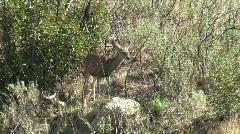 Stock Video Footage of Deer In Chaparral