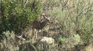 Deer In Chaparral Stock Footage