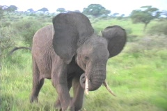 Elephant charge in Tarangire Africa - stock footage