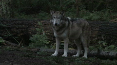 Gray Wolf Stares 1 Stock Footage