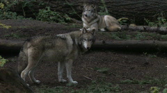 Gray Wolves Quiet Time 1 Stock Footage