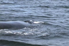 Humpback Whales caming up to boat Stock Footage