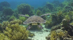 Hawksbill sea turtle - juvenile swimming - rear view - stock footage