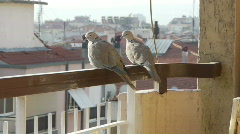 Stock Video Footage of 2 lovely Pigeon birds sit on balcony railing, look around