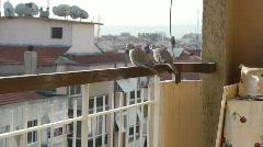 2 lovely Pigeon birds sit on balcony railing, look around Stock Footage