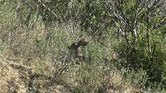 Stock Video Footage of Deer Hiding In Chaparral