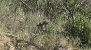 Deer Hiding In Chaparral Stock Footage