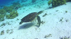 Side view of a  juvenile female Hawksbill turtle Stock Footage