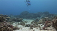 Spear fisherman dives into frame with his spear gun and kills out of sight Stock Footage