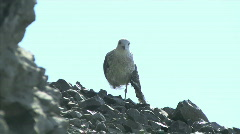 Bird with broken wing - stock footage
