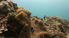 Clownfish in anemone in a tropical coral reef Stock Footage