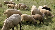 Stock Video Footage of Sheeps