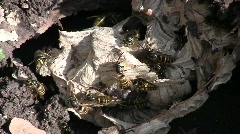 Close-up of buzzing common wasps (Hymenoptera: Vespidae: Vespula vulgaris) in th Stock Footage