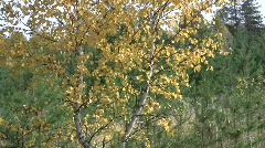 Young autumn golden birch (Betula pendula) swaying in the wind against young pin Stock Footage