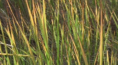 Close-up of the autumn yellow-greenish leaves of shorthear (Poaceae, Calamagrost Stock Footage