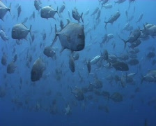 Giant trevally school Stock Footage