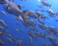 Large school of snapper Stock Footage