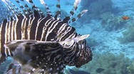 Stock Video Footage of Lionfish hovering by coral block