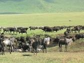 Gnu, Zebra, Cape Buffalo Stock Footage