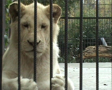 Lioness in a cage Stock Footage