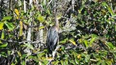 Anhinga bird  Stock Footage