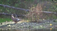 Female of a wild duck (Anas platyrhynchos) walking at the river bank   Stock Footage