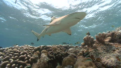 Reef shark swims over reef and camera Stock Footage