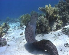 Giant moray eating shovel nose ray head 090521 002 Stock Footage