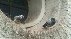 Pigeon sitting on a wall Stock Footage