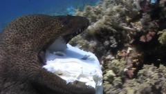 Giant moray eating shovel nose ray head 090521 009 Stock Footage