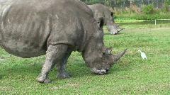 Rhinoceros Rhinos Stock Footage