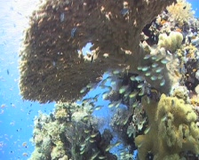 Healthy coral reef scene Stock Footage