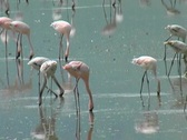 Stock Video Footage of Flamingos in Ngorongoro