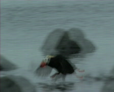 Tufed puffin Stock Footage