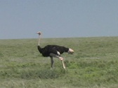 Stock Video Footage of Male Ostrich walking