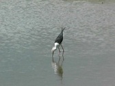 Stock Video Footage of Black Wing Stilt