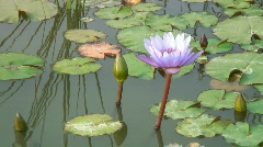 Lotus blossom Stock Footage