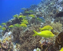 A large school of yellow saddle goatfish cruising the reef Stock Footage