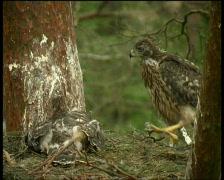 Common buzzard Stock Footage