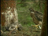 Common buzzard Stock Footage