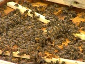 Bees in the Hive Stock Footage