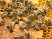 Bees and Honey in the Hive Stock Footage