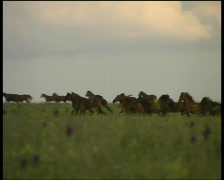 wild mustang Stock Footage