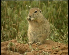 Gopher Stock Footage