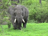 Stock Video Footage of Large Bull Elephant in Ruaha Park