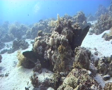 A pair of giant moray eels resting in a coral reef 090106 03 Stock Footage