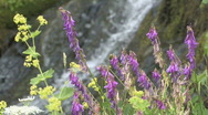 Stock Video Footage of mountain flowers